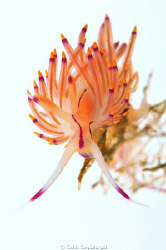&quot;Nudi in white&quot; 